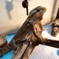 フトアゴヒゲトカゲの餌は何?量と頻度も紹介